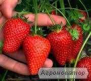 Кращий ранній сорт полуниці : Альба