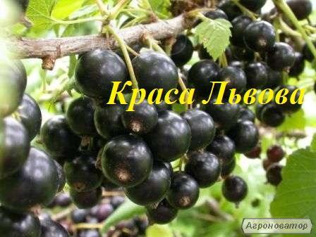 Саженцы черной смородины сорта Краса Львова отличного качества