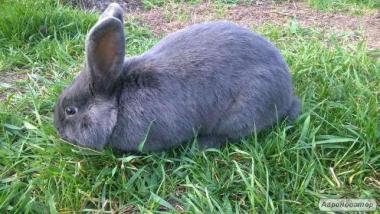СРОЧНО!!! Продам Кроликов Венский Голубой СРОЧНО!!!