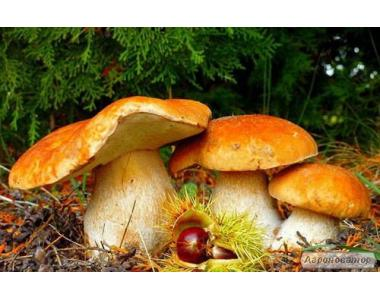 Міцелій (грибниця) БІЛОГО ГРИБА СОСНОВОГО