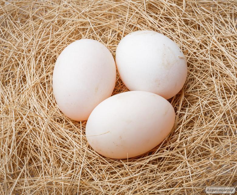 Инкубационные яйца уток