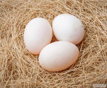 Інкубаційні яйця качок