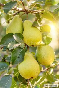 Саженцы яблони оптом, 50 сортов!