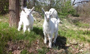 Продам пару козенят зааненська безрога