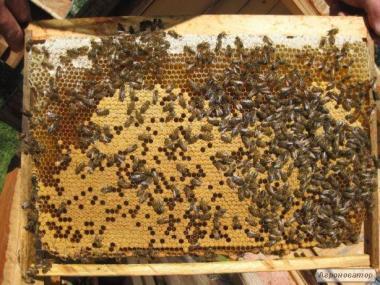 Продаж бджолопакетів з власної пасіки