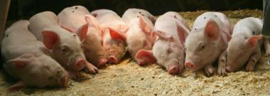 свині ландрасси