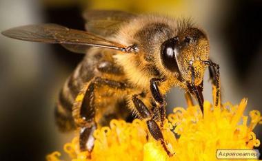 Продам пчёлопакеты