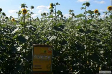 Семена подсолнечника Гаярд от производителя.