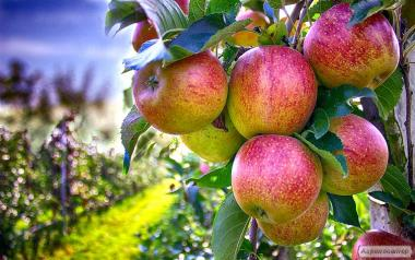 Продам яблука чемпіон,джонаголд, голден.