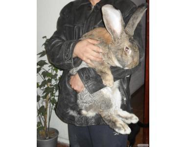 Продам кролів породи Німецький велетень.Різен.
