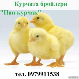 Курчата-бройлеры
