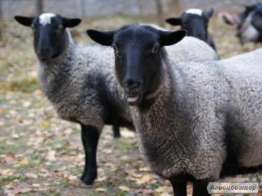 Купимо романівські вівці; вівцематка для розмноження