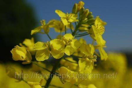 Семена озимого рапса Monsanto гибрид Ексголд