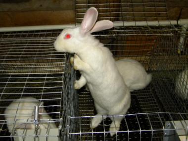 Продаються кролі породи Термондська біла.