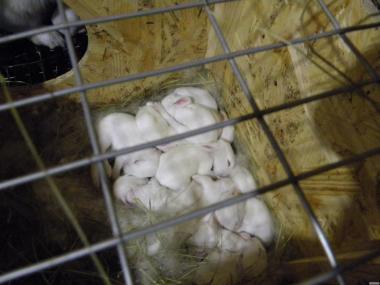 Продаются кролики породы Термондська белая.