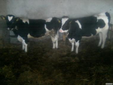 Коровы породы Черно-пестрая