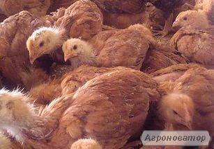 підрощені курчата