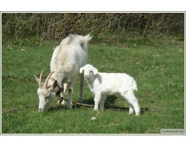 Продам кіз і козенят!