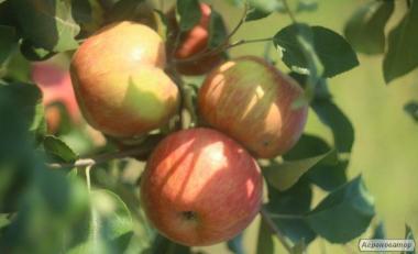 Саджанці плодових дерев. Яблуні, груші, сливи, черешні, персика, сливи
