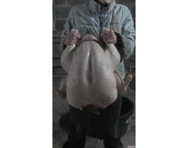Індичата добові, яйце інкуба.(білі шир.грудые)BUТ-8 доставка по Укр.