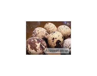 Продаю перепелині яйця