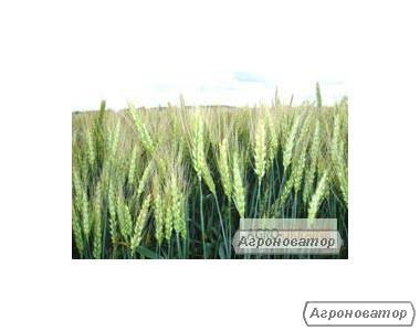 Семена пшеницы озимой - сорт Золотоколоса. Элита и 1 репродукция
