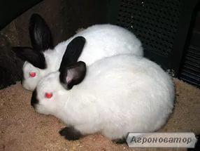 продам кролів каліфорнійців