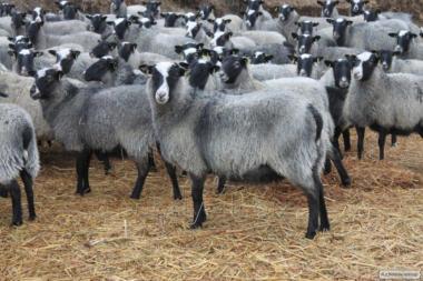 Куплю овец , ярок романовской породы