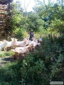 Продам коз голанской породы