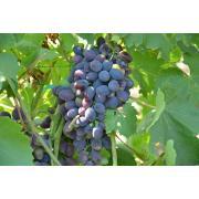 Кадрянка виноград столовий купити оптом
