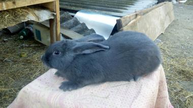 Продам кролики породы Венский Голубой