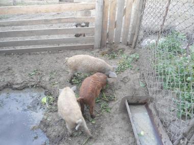 терміново продам свині пухова венгерська мангалиця