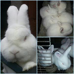 Новозеландские Белые кролики Европейской селекции.Доставка по Украине