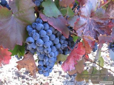 Домашнє натуральне Еко-вино з Новака(Ізабелла) Південної Бессарабії