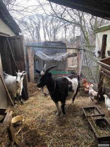 Продам дві (2) кози