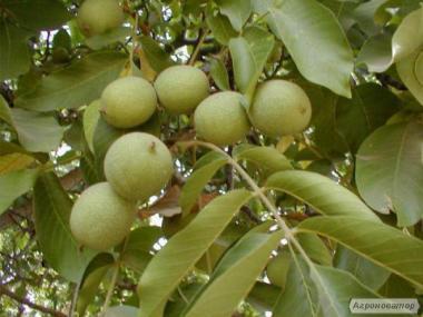 """Продам саджанці грецького горіха """"Ідеал"""""""