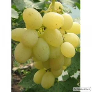 Продам виноград Кеша.