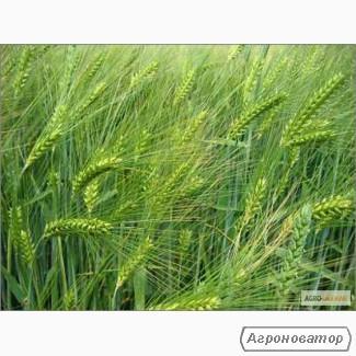 Семена ячменя озимого - сорт Наоми. Элита и  1 репродукция