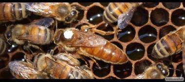 Бджоломатки бакфаст 2017