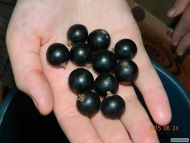 Предлагаем саженцы и черенки черной смородины