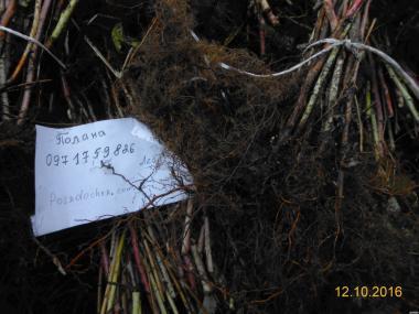 Продам саженцы малины Полана, Полка, большой опт и розница