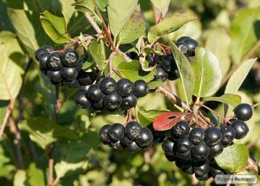 Сушені ягоди чорноплодноіі рябіни. Урожай 2018 р