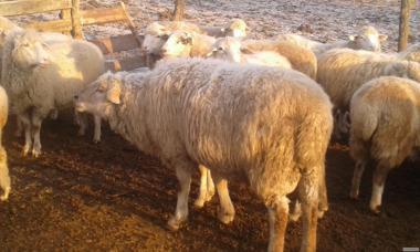 продам 2 барана асканийской породы