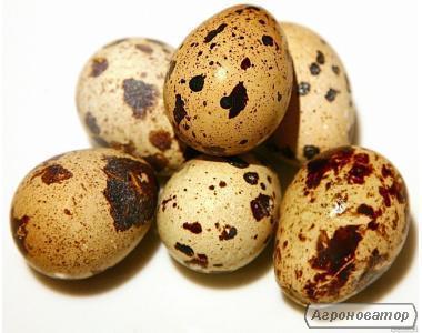Продам инкубационное яйцо перепела Техасский