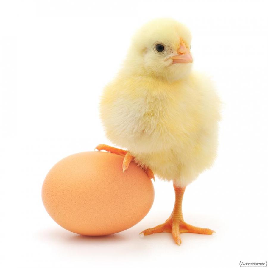 Інкубаційне яйце бройлера РОСС-708, РОСС-308, КОББ-500