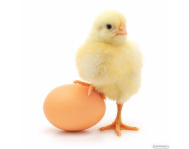 Инкубационное яйцо бройлера РОСС-708, РОСС-308, КОББ-500