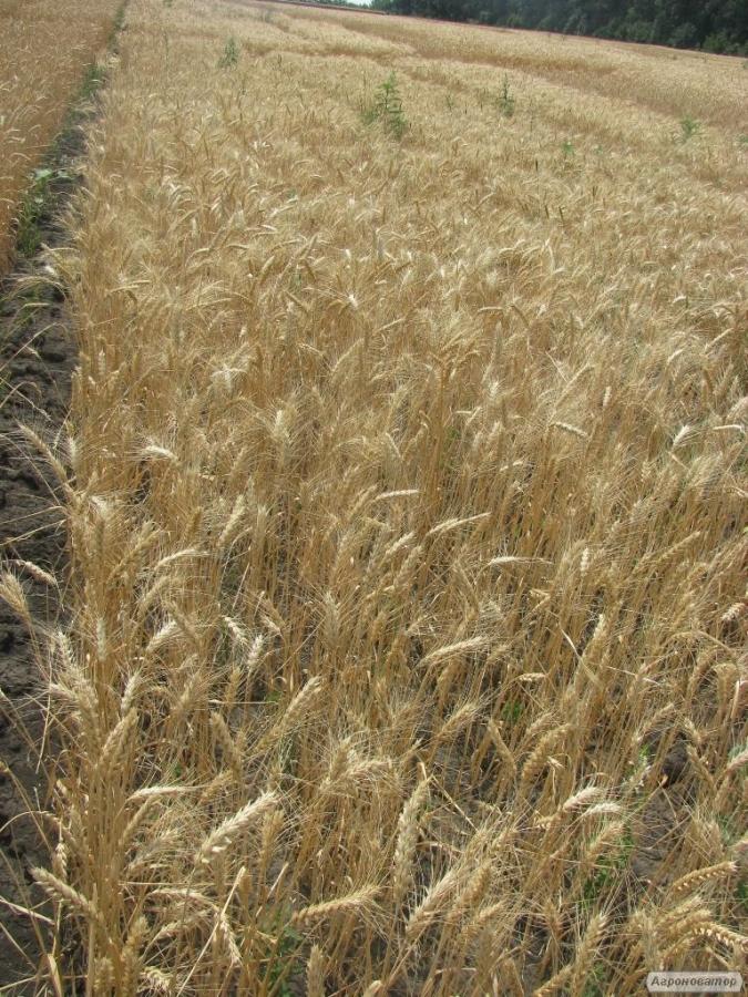 Насіння озимої пшениці - сорт Кохана. Еліта