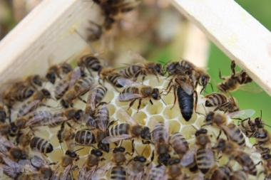 пчеломатки Карпатки 2017