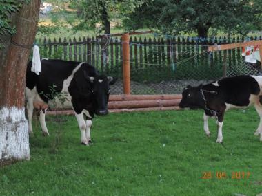 Продається молода корова та телиця на годівлю.