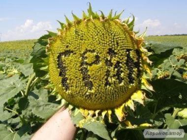 Семена подсолнечника Толедо, Гранд Адмирал, Карат, Армагедон